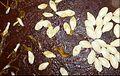 """Cucurbita pepo """"zapallo de Angola"""" semillería La Paulita - fruto cortado (VE09) - sector 3 semillas 2 detail.jpg"""