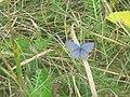 Cupido argiades ♂ - Short-tailed blue (male) - Голубянка короткохвостая (самец) (26144130467).jpg