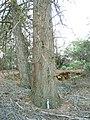 Cupressus sargentii Cedar Mountain.JPG