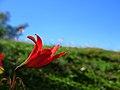 Curico, flor cerro Condell 2 (9452308007).jpg