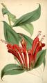 Curtis's Botanical Magazine, Plate 4328 (Volume 73, 1847).png