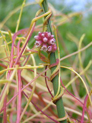 Cuscuta - Cuscuta europaea in flower