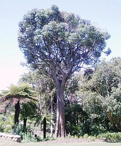 Cussonia spicata - Cabbage tree - South Africa.JPG