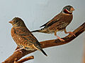 Cut-throat Finch RWD7.jpg
