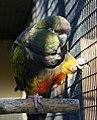 Cyanoliseus patagonus -captivity-8.jpg