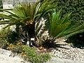 Cycas panzhihuaensis Jardin des plantes de Montpellier 06.jpg