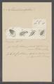 Cyclidium pediculus - - Print - Iconographia Zoologica - Special Collections University of Amsterdam - UBAINV0274 113 15 0002.tif
