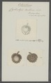 Cyclocotyle bellones - - Print - Iconographia Zoologica - Special Collections University of Amsterdam - UBAINV0274 105 11 0004.tif