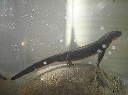 Un triton oriental, en aquarium