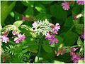 Czosnek niedźwiedzi-Allium ursinum 03.jpg