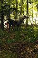 Débardage mondial du cheval percheron 2011Cl J Weber01 (24000891821).jpg