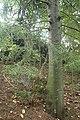 Dacrycarpus dacrydioides kz4.jpg