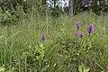 Dactylorhiza praetermissa subsp. osiliensis2.jpg