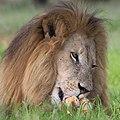 Daddy has a bone - male lion (26514719589).jpg