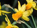 Daffodils (13199557235).jpg