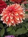 Dahlia - Indian Botanic Garden - Howrah 2012-01-29 1783.JPG