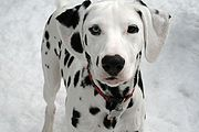 Dalmatian puppy black Orion.jpg