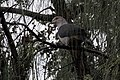 Dark-backed Imperial Pigeon.jpg