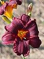 Dark Red Daylily.jpg