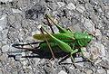 Decticus verrucivorus f 2009 08190379.jpg