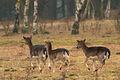 Deer at the Utrechtse heuvelrug (4335168520) (2).jpg