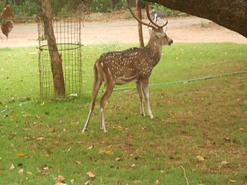 Deer in IIT Madras.jpg