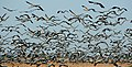 Demoiselle cranes at Khichan, Rajasthan. For close to three decades, the people of Khichan village have been the protectors of these cranes, who arrive in thousands in their fields every morning.jpg