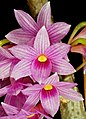 Dendrobium goldschmidtianum Orchi 007.jpg