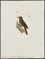 Dendrocincla atrirostris - 1820-1860 - Print - Iconographia Zoologica - Special Collections University of Amsterdam - UBA01 IZ19200281.tif