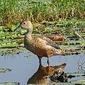 Dendrocygna javanica, Lesser whistling duck.jpg