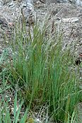 Deschampsia.flexuosa.2.jpg