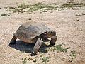 Desert tortoise (Gopherus agassizii).jpg