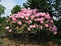 Dexter hybrid rhododendron - Tower Hill Botanic Garden.JPG