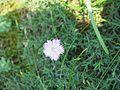 Dianthus gallicus (fleur)2.jpg