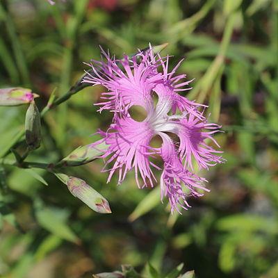 Dianthus longicalyx-IMG 7144.jpg