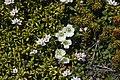 Diapensia lapponica and Kalmia procumbens.jpg