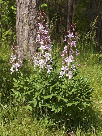 Dictamnus - Dictamnus albus in flower