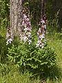 Dictamnus albus LC0401.jpg