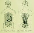 Die Frau als Hausärztin (1911) 069 070 Natürliche und verschobene Lage der Bauchorgane.png