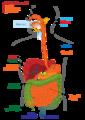 Digestive system diagram ln.png