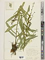 Digitalis davisiana - specimen at Kew Herbarium, img-662284.jpg