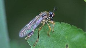 File:Dioctria linearis - 2011-06-10.ogv