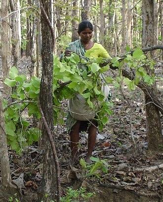 Tobacco smoking - Tendu Patta (Leaf) Collection for Beedi industries