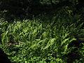 Diplazium pycnocarpon glade fern by Todd Crabtree (8497631805).jpg