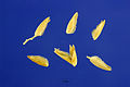 Distichlis spicata seeds.jpg