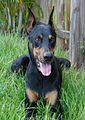 "Dobermann Black and Tan ""Vito"".jpg"