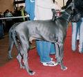 Dog niemiecki błękitny 009.jpg