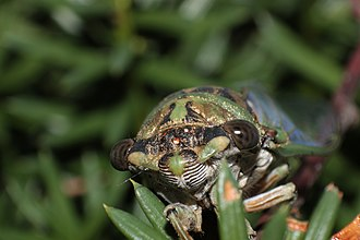 Dog-day cicada - Image: Dogday Cicada