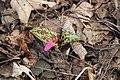 Dogtooth violet - Erythronium dens-canis - panoramio (2).jpg