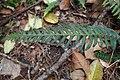Doodia australis kz14.jpg
